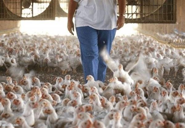 ماجرای فیلم جنجالی از هجوم مردم به یک مرغداری